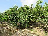 Fruit trees  - 7 bed 3 bath Picassent